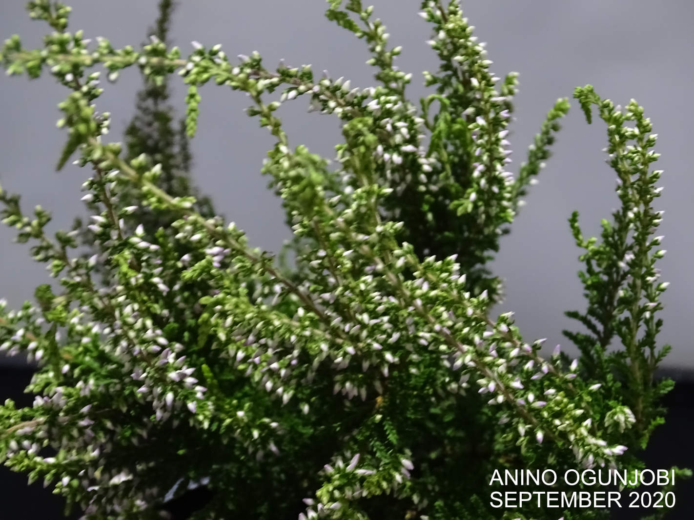 Close shot of white Heather plant in buds