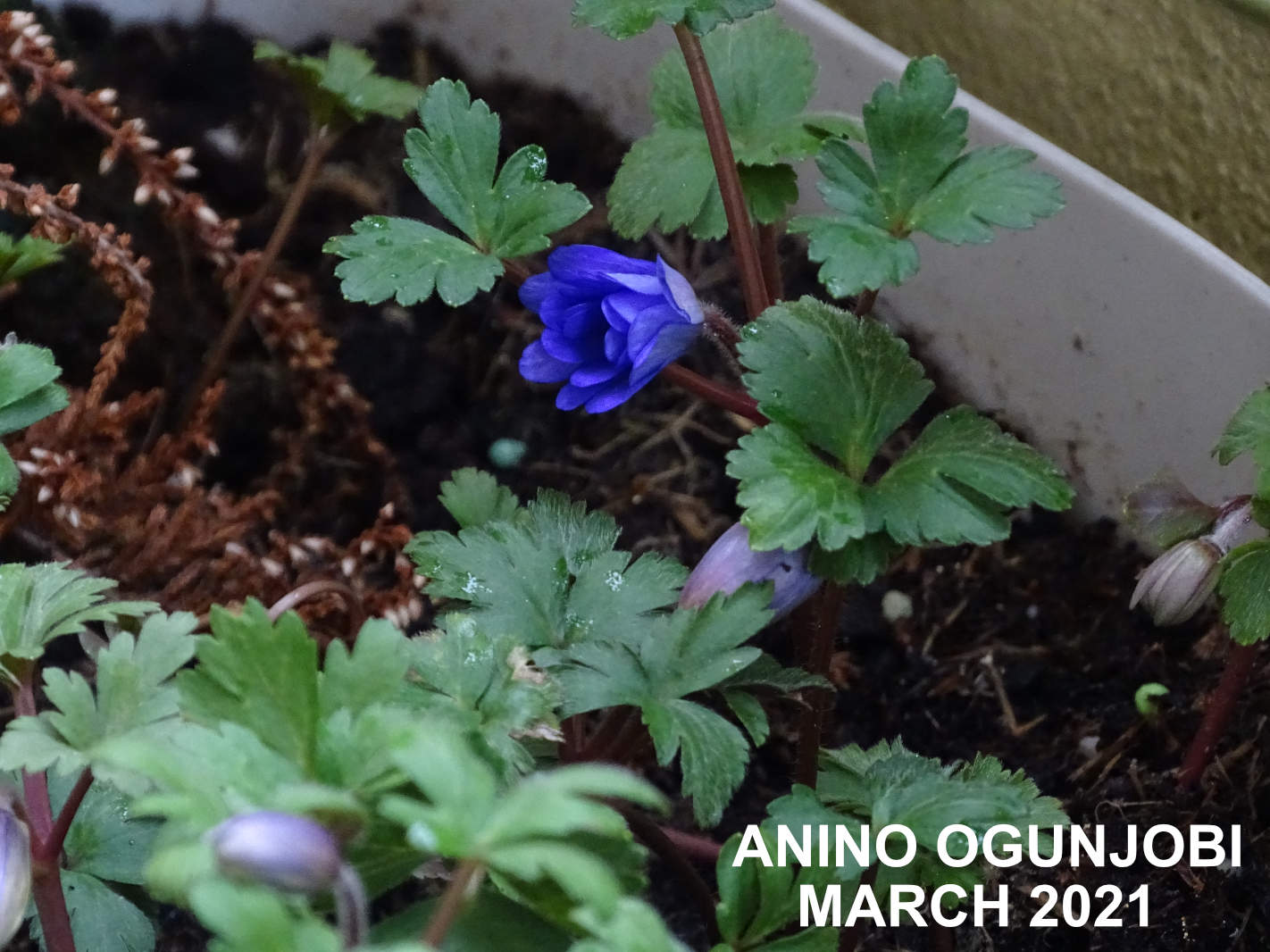 Anemone-blanda-mix-in-bloom-by-Anino-Ogunjobi-and-Crafters-TV