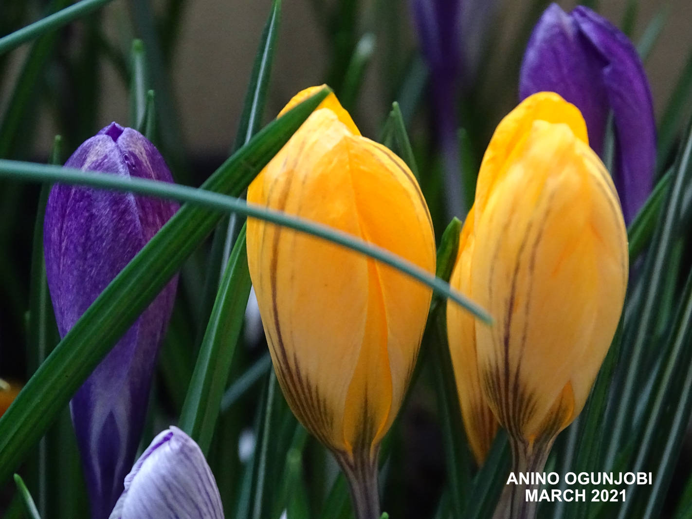 Close-shot-of-the-Crocus-Vernus-Mix-Blossom-by-Anino-Ogunjobi-and-Crafters-TV