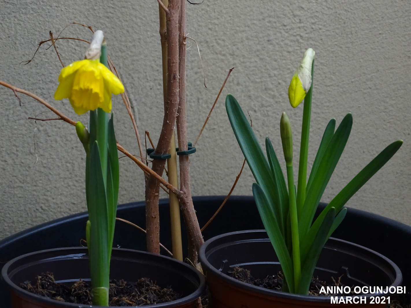 Daffodils-in-bloom-by-Anino-and-Crafters-TV