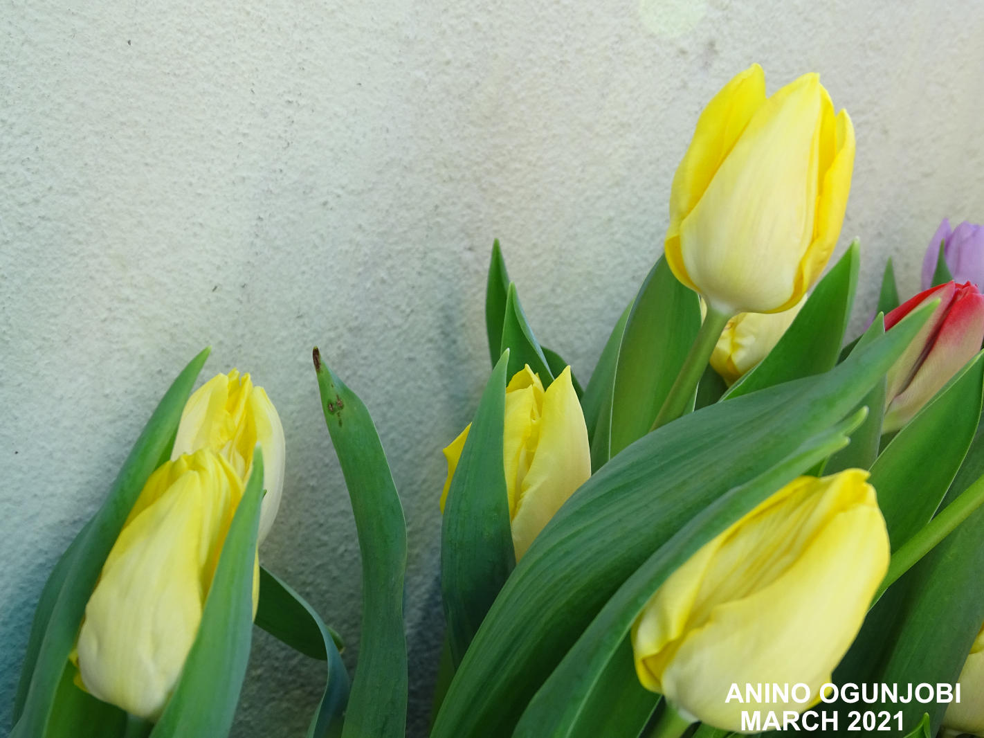 Blooms-of-the-Tulips-Triumph-Yokohama-by-Anino-and-Crafters-TV