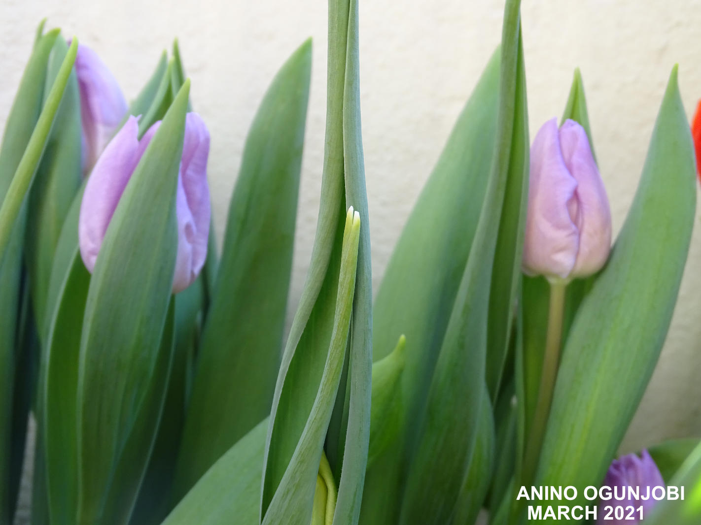 Blooms-of-the-Tulips-Tulipa-Alibi-by-Anino-and-Crafters-TV