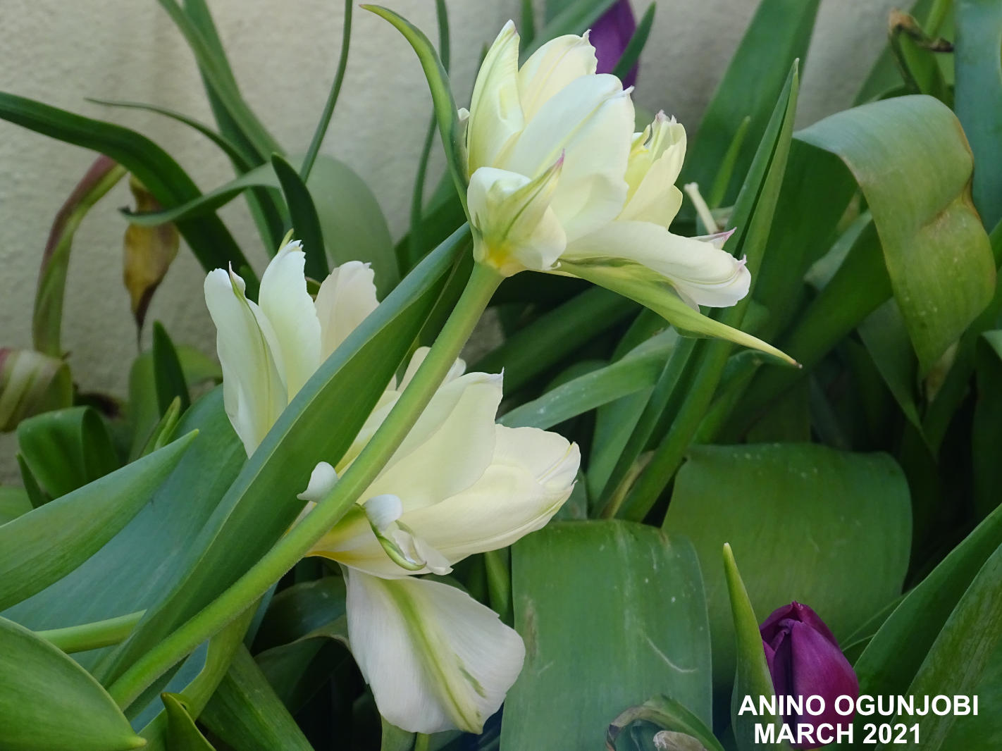 Tulipa-Fosteriana-Exotic-Emperor-in-Bloom-by-Anino-and-Crafters-TV