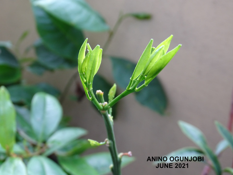 Young-Leaves-of-the-KumQuat-Plant-by-AninoOgunjobi-and-Crafters-tv